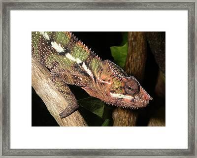Panther Chameleon On A Branch Framed Print