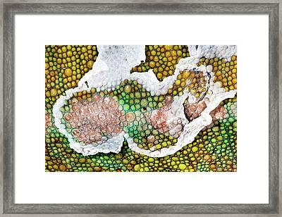Panther Chameleon Shedding Skin Framed Print by Alex Hyde