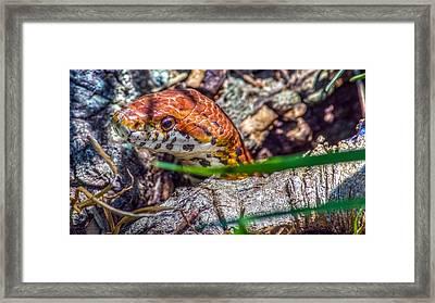 Pantherophis Guttatus Framed Print by Rob Sellers