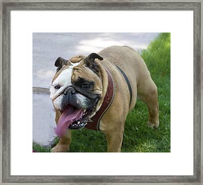 Panting Lady Bulldog Framed Print