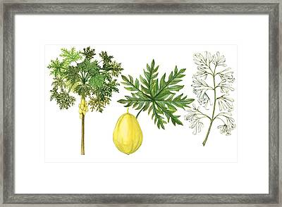 Papaya Framed Print by Anonymous