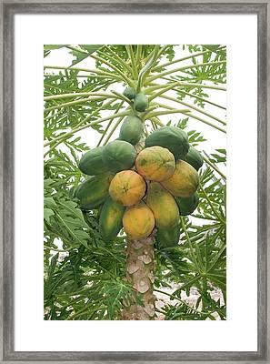 Papaya Carica Papaya Framed Print