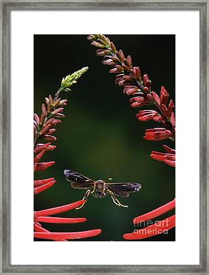 Paper Wasp In Flight Framed Print by Stephen Dalton