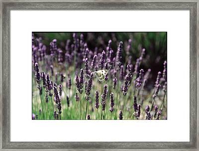 Papillon Dans La Lavande Framed Print by Kim Lessel