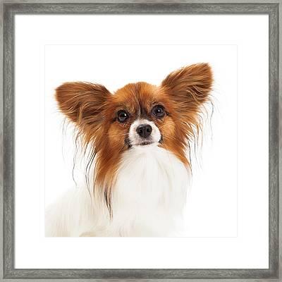 Papillon Dog Closeup Framed Print
