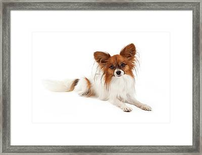 Papillon Dog Laying  Framed Print