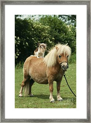 Papillon Riding Shetland Pony Framed Print by John Daniels