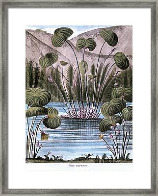 Papyrus Reed (cyperus Papyrus) Framed Print by Universal History Archive/uig