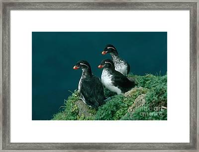 Parakeet Auklet Framed Print