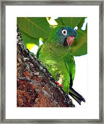 Parakeet In A Tree Framed Print by Ira Runyan