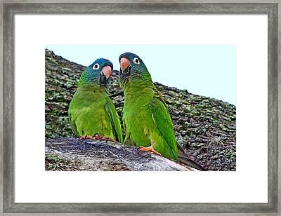 Parakeet Pair Framed Print by Ira Runyan