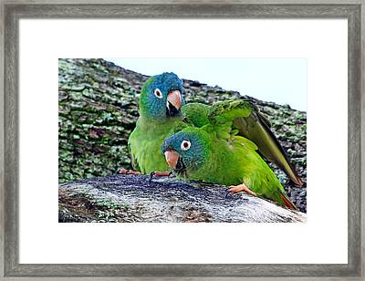 Parakeets In An Oak Tree Framed Print by Ira Runyan