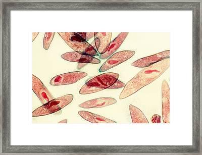 Paramecium Caudatum Framed Print