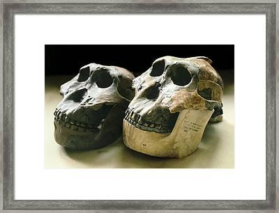 Paranthropus Boisei Skulls Framed Print by Science Photo Library