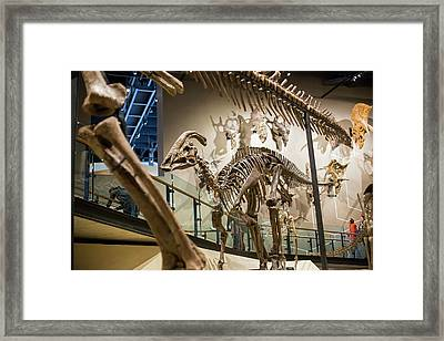 Parasaurolophus Dinosaur Fossil Display Framed Print by Jim West