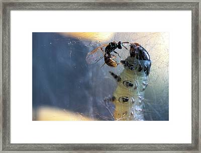 Parasitic Wasp On Leafroller Larva Framed Print by Stephen Ausmus/us Department Of Agriculture