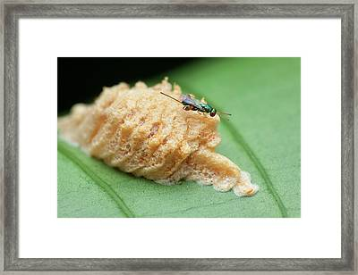 Parasitic Wasp On Mantis Eggs Framed Print by Melvyn Yeo