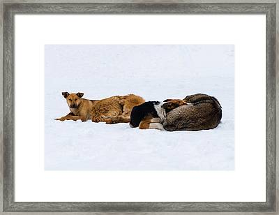 Pariah Dogs On The Snow - Featured 2 Framed Print by Alexander Senin