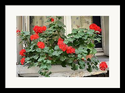 Red Geraniums Photographs Framed Prints