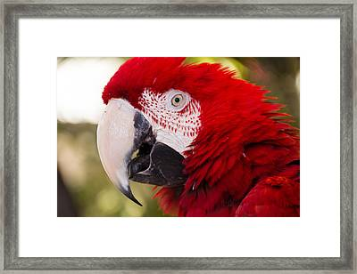 Parrot Framed Print by Cathy Donohoue
