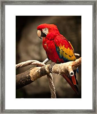 Parrot Framed Print by Kerri Garrison
