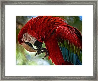 Parrot Preen Hdr Framed Print