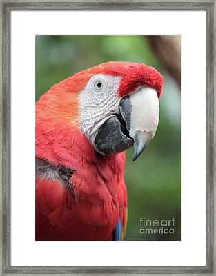 Parrot Profile Framed Print by Carol Groenen