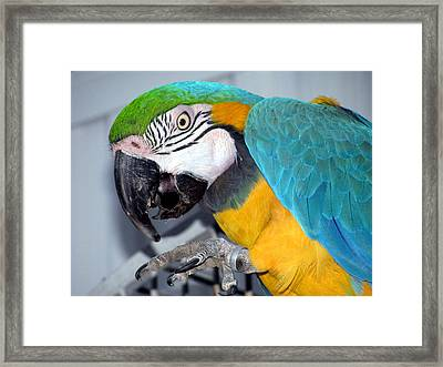 Parrot Framed Print by Selma Glunn