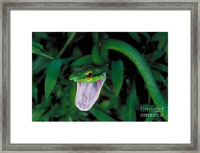 Parrot Snake Framed Print
