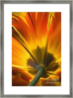 Parrot Tulip - D008405 Framed Print by Daniel Dempster