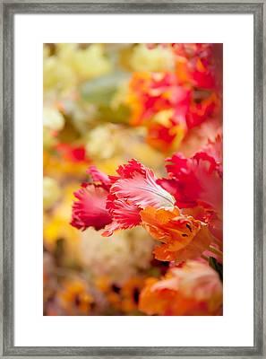 Parrot Tulips 1. Amsterdam Flower Market Framed Print by Jenny Rainbow