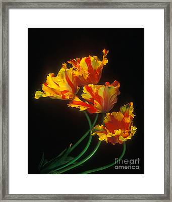 Parrot Tulips On Easter Morning Vertical Framed Print