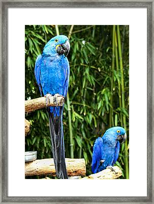 Parroting Parrots Framed Print by Toma Caul