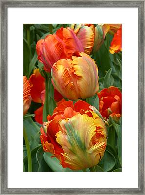 Parrots At Play Framed Print by Cindy McDaniel