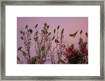 Parrots At Roost Framed Print by Avian Resources
