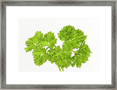 Parsley Sprigs Framed Print by Ann Pickford
