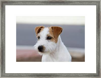 Parson Russell Terrier Framed Print by Piperanne Worcester