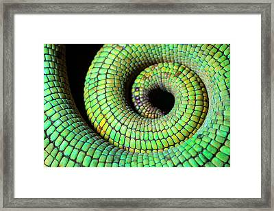 Parson's Chaemeleon Tail Framed Print by Alex Hyde