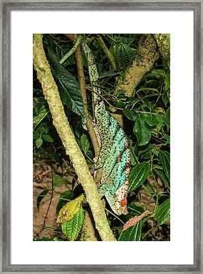 Parson's Chameleon (calumma Parsonii) Framed Print by Photostock-israel