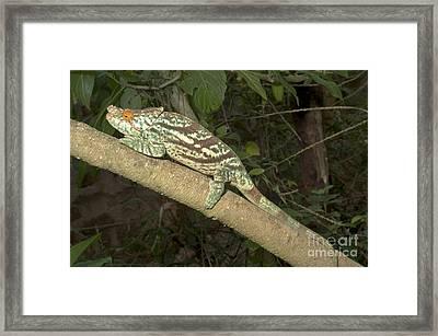 Parsons Chameleon Framed Print