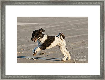 Parti Poodle Running On Beach Framed Print