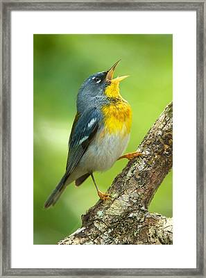 Parula Song Framed Print