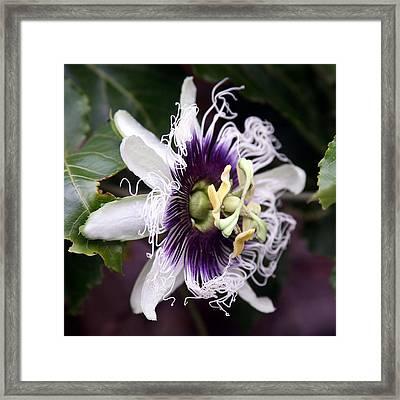 Pasionfruit Flower Framed Print by Jeffrey Lee