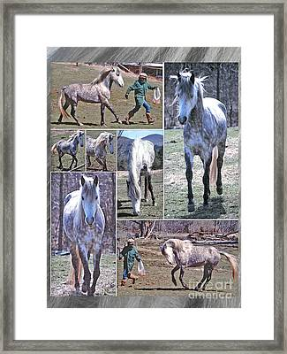 Paso Fino Stallion Horsing Around Framed Print by Patricia Keller