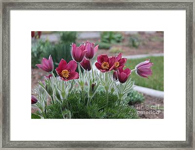 Pasque Flowers Framed Print