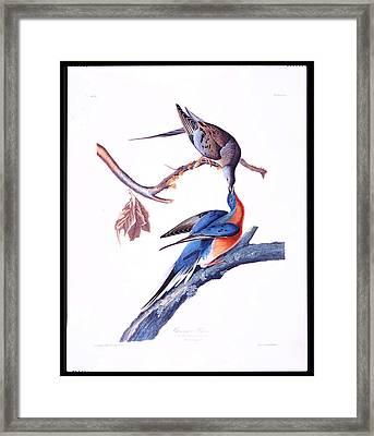 Passanger Pigeon Framed Print