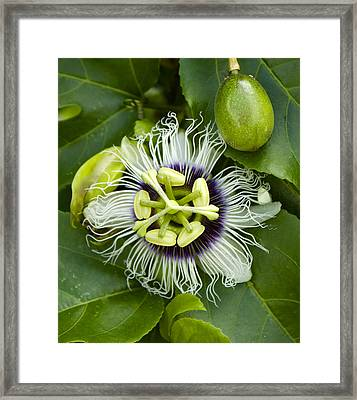 Passiflora Edulis With Fruit Framed Print by Venetia Featherstone-Witty
