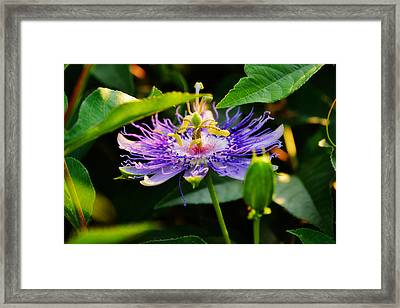 Passiflora Incarnata Framed Print by Adam LeCroy