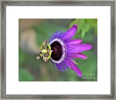 Passiflora Lavender Lady Framed Print by Olga Hamilton