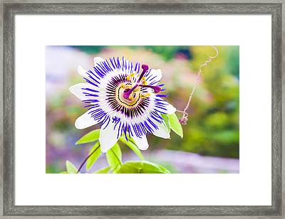 Passiflora Or Passion Flower Framed Print